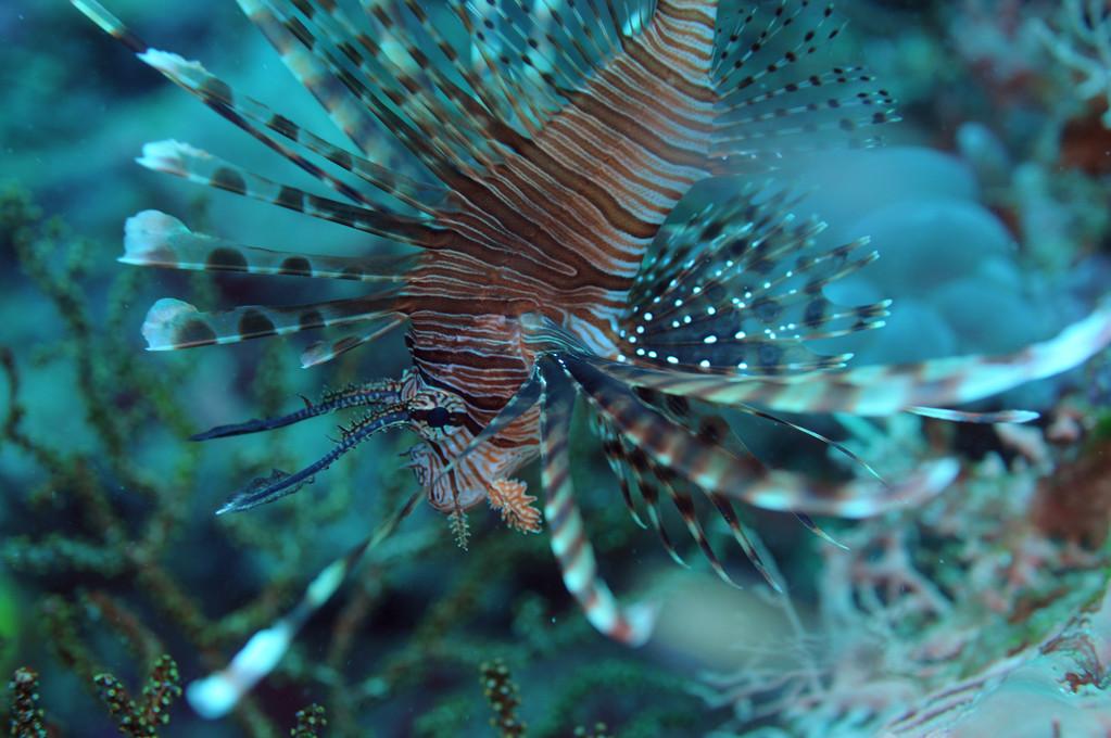 Scorpaeniformes et poissons comparables Rascasse volante, Negros orientales, Philippines