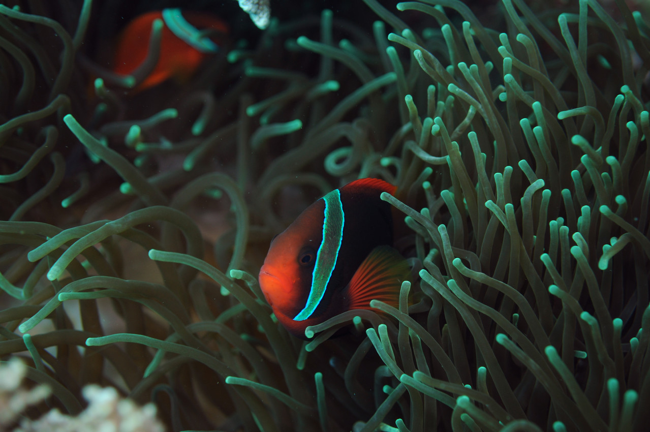 Poisson clown Amphiprionidés  Clown tomate Amphiprion frenatus , Negros orientales, Philippines