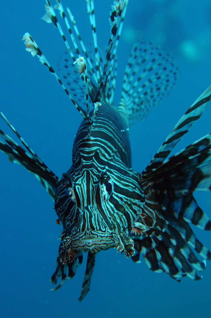 Rascasse volante zébrée Dendrochirus zebra
