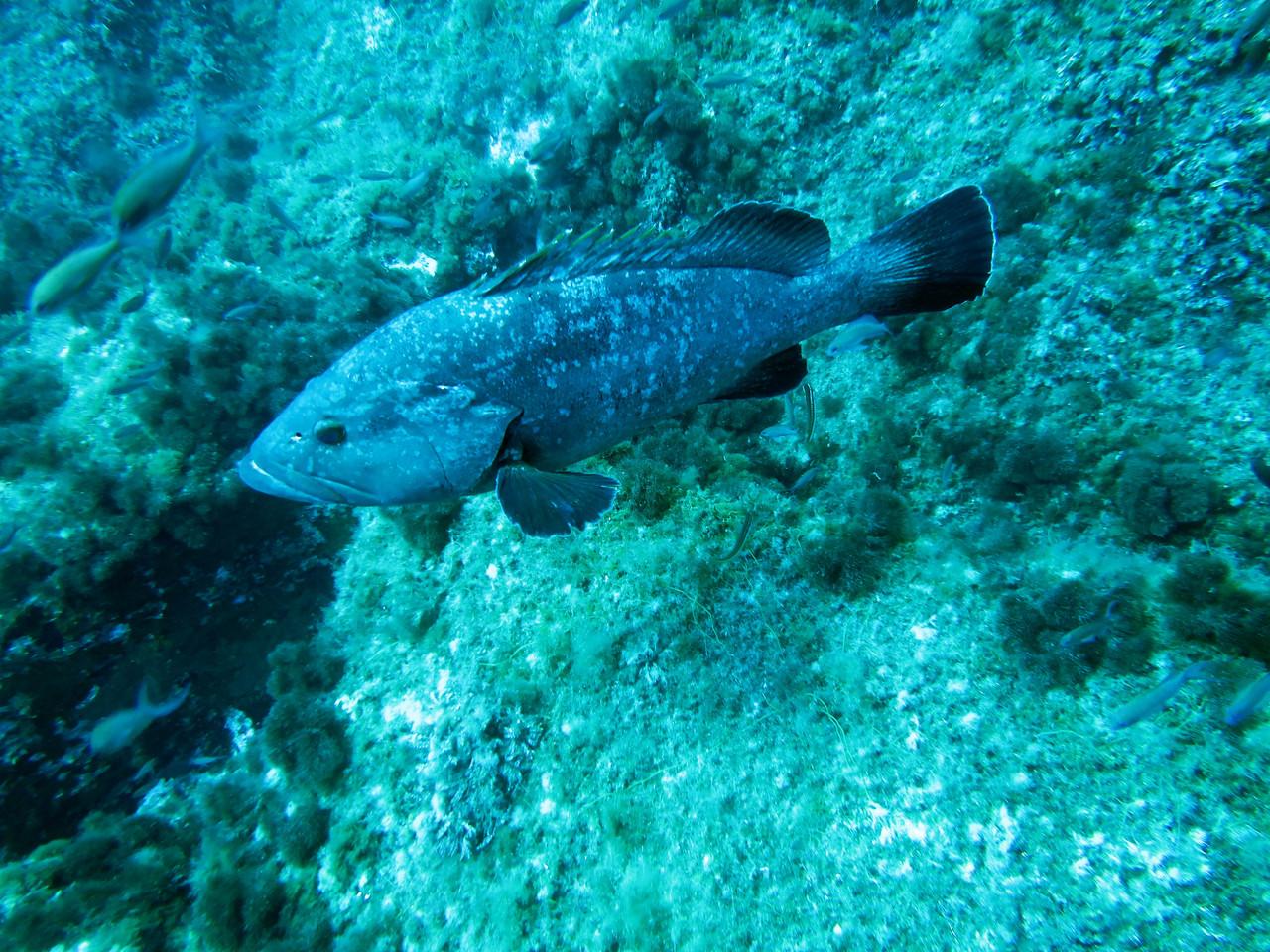 Epinephelus Mérou