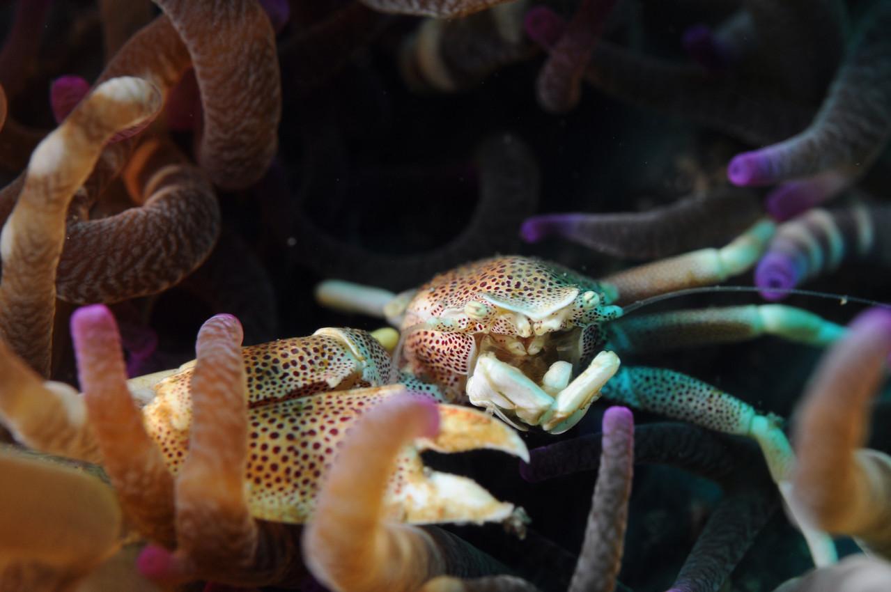 crabe porcelaine (Neopetrolisthes maculatus) dans une anémone, Négros orientales Philippines