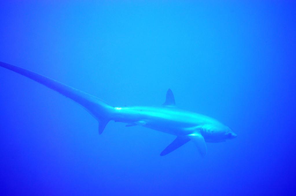 requin renard, Negros orientales, Philippines