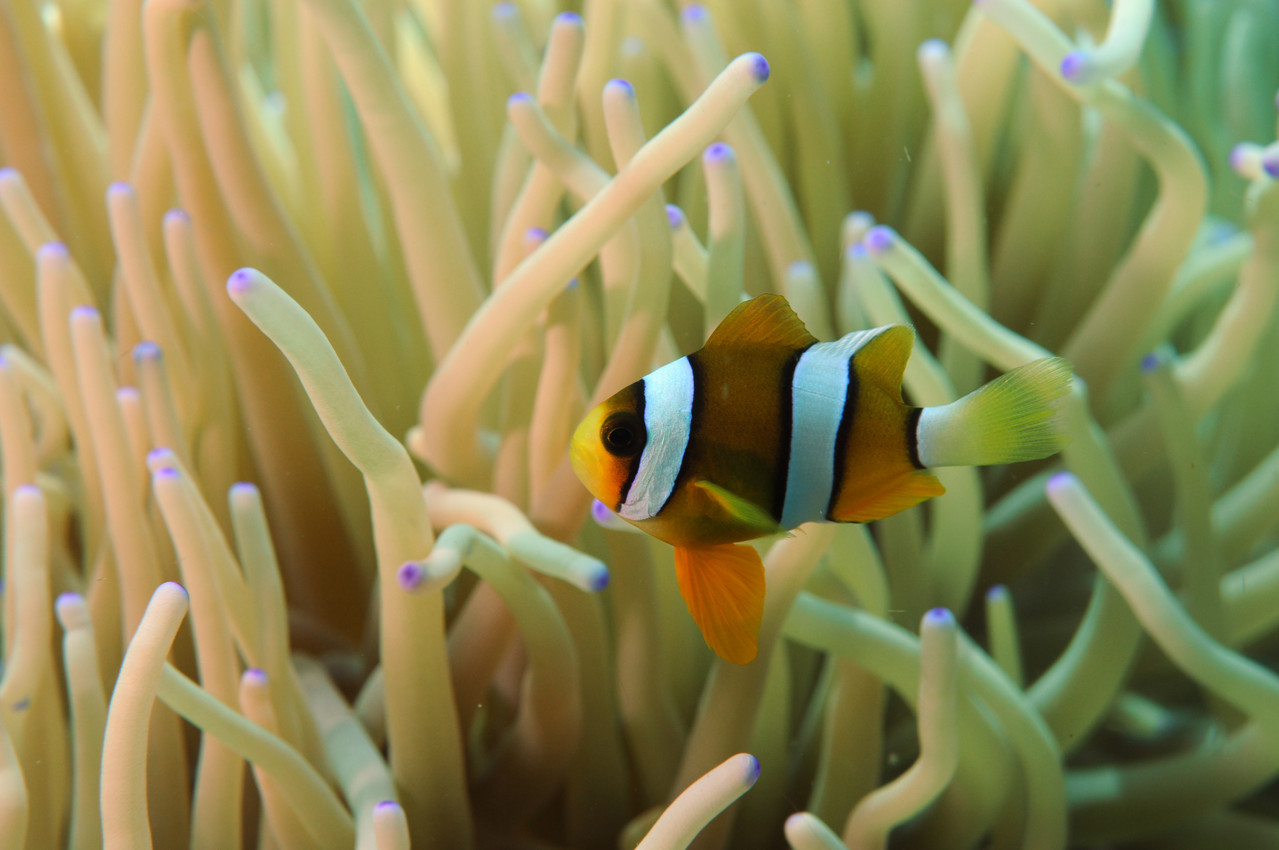 Poisson clown Amphiprionidés  Poisson Clown de Clark Amphiprion Clarki, Negros orientales, Philippines