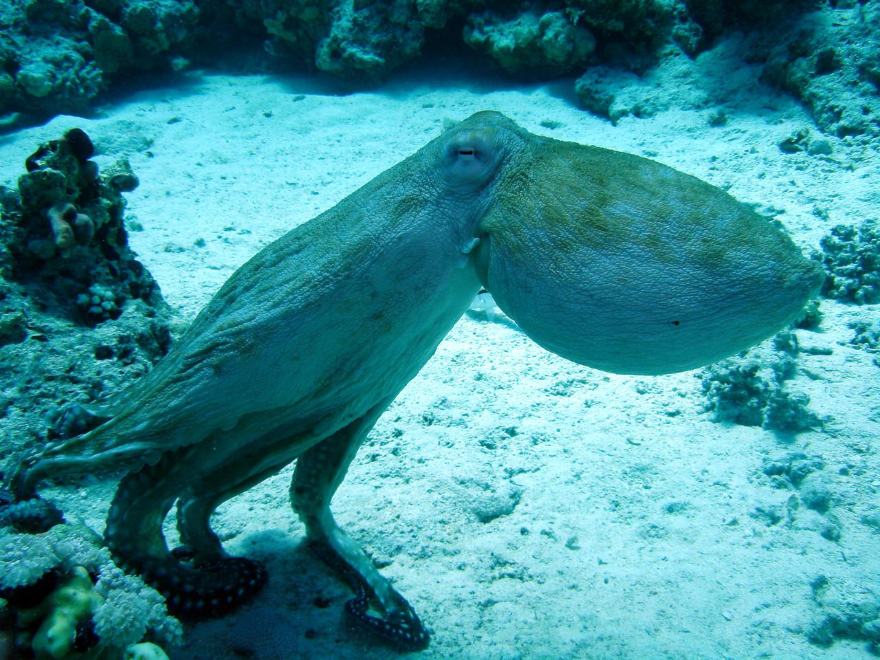 """pieuvre ou poulpe """"Octopus"""" en parade nuptiale"""