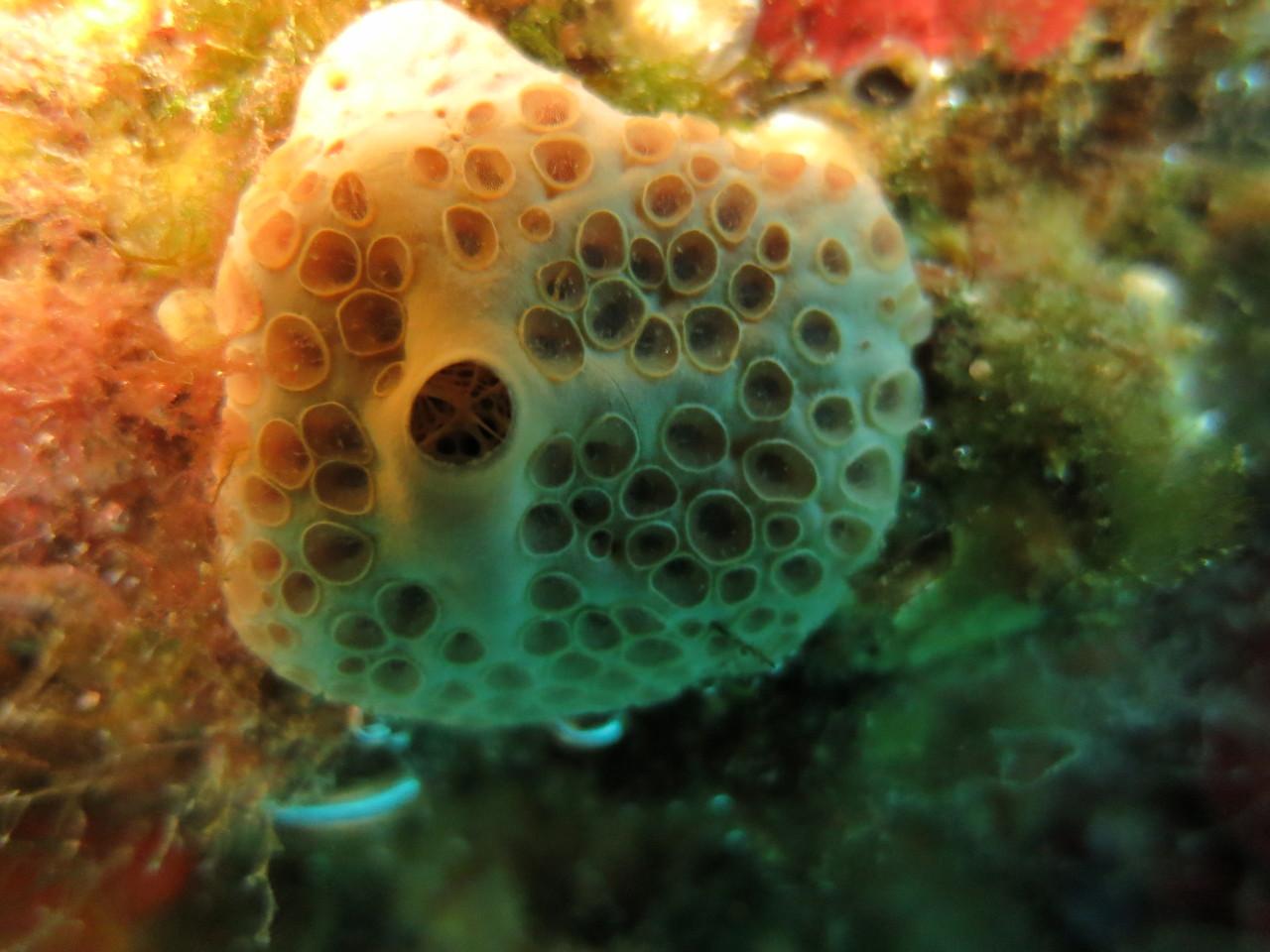 Hemimycale columella, éponge à cratères