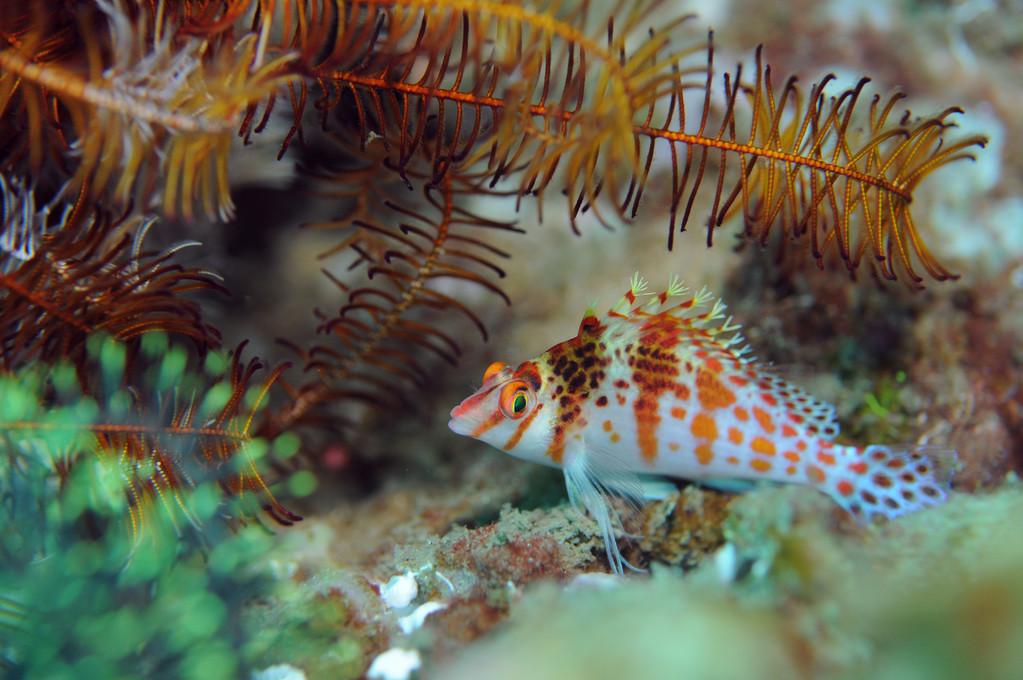 Poisson épervier lutin cirrhitichthys oxycephalus, Negros orientales, Philippines