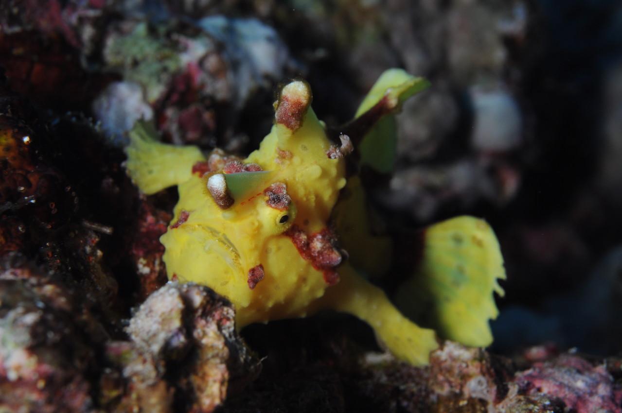"""antennaire """"Antennarius maculatus"""" Negros orientales Philippines"""
