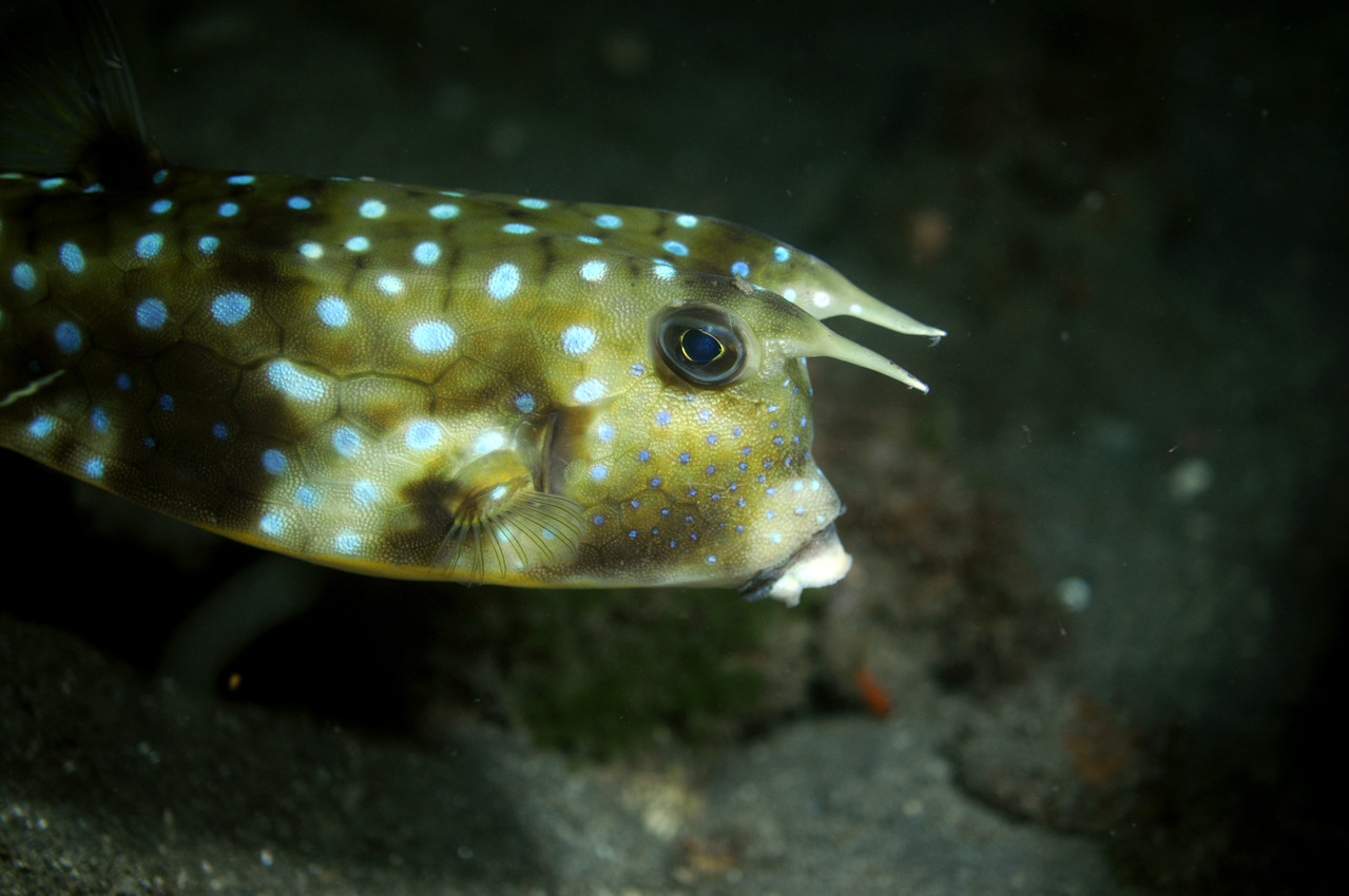 Tetraodontiformes balistes coffres Poisson coffre vachette, Negros orientales, Philippines