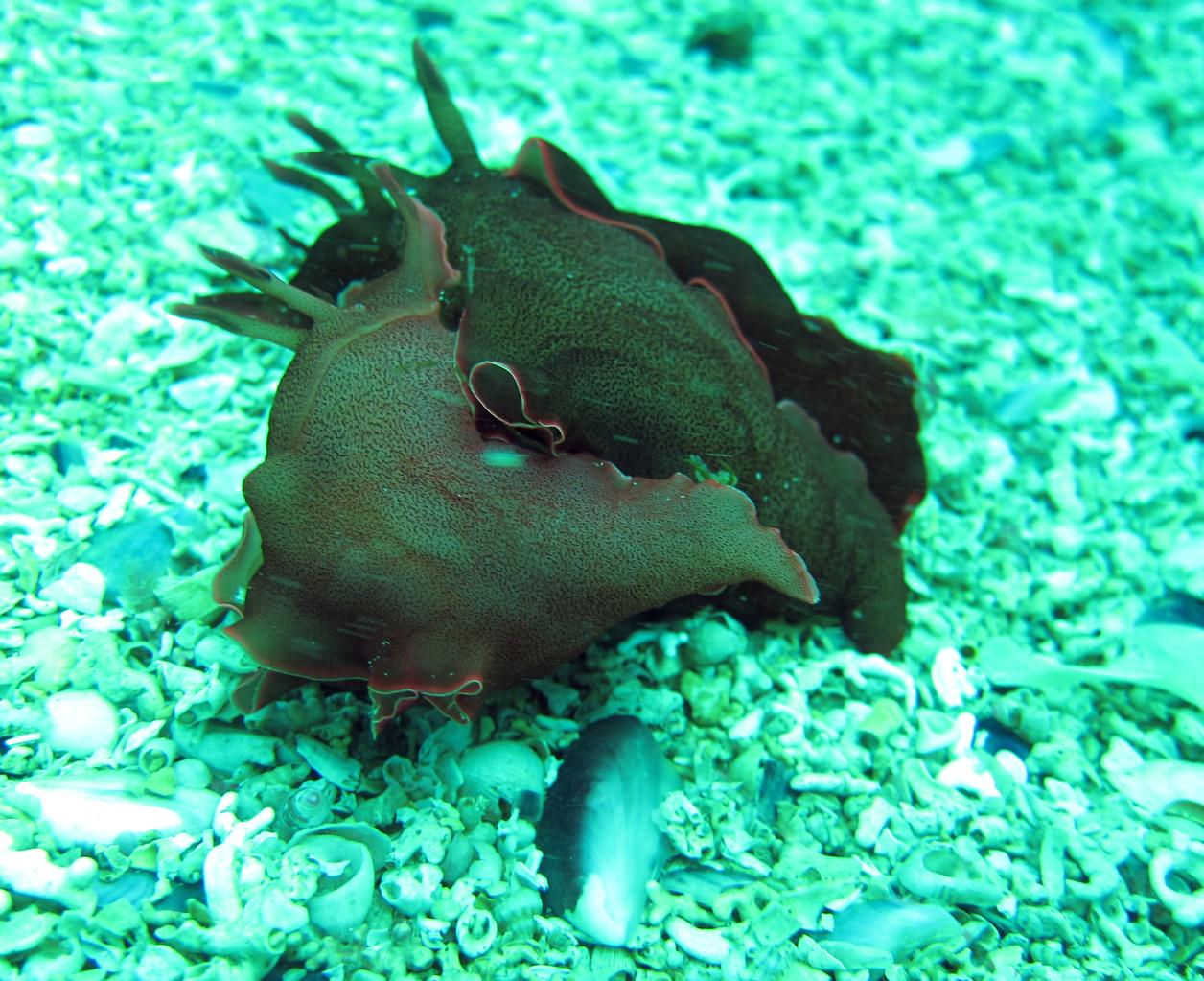 Aplysia punctata lièvre de mer - Saint Cast Côte d'Armor