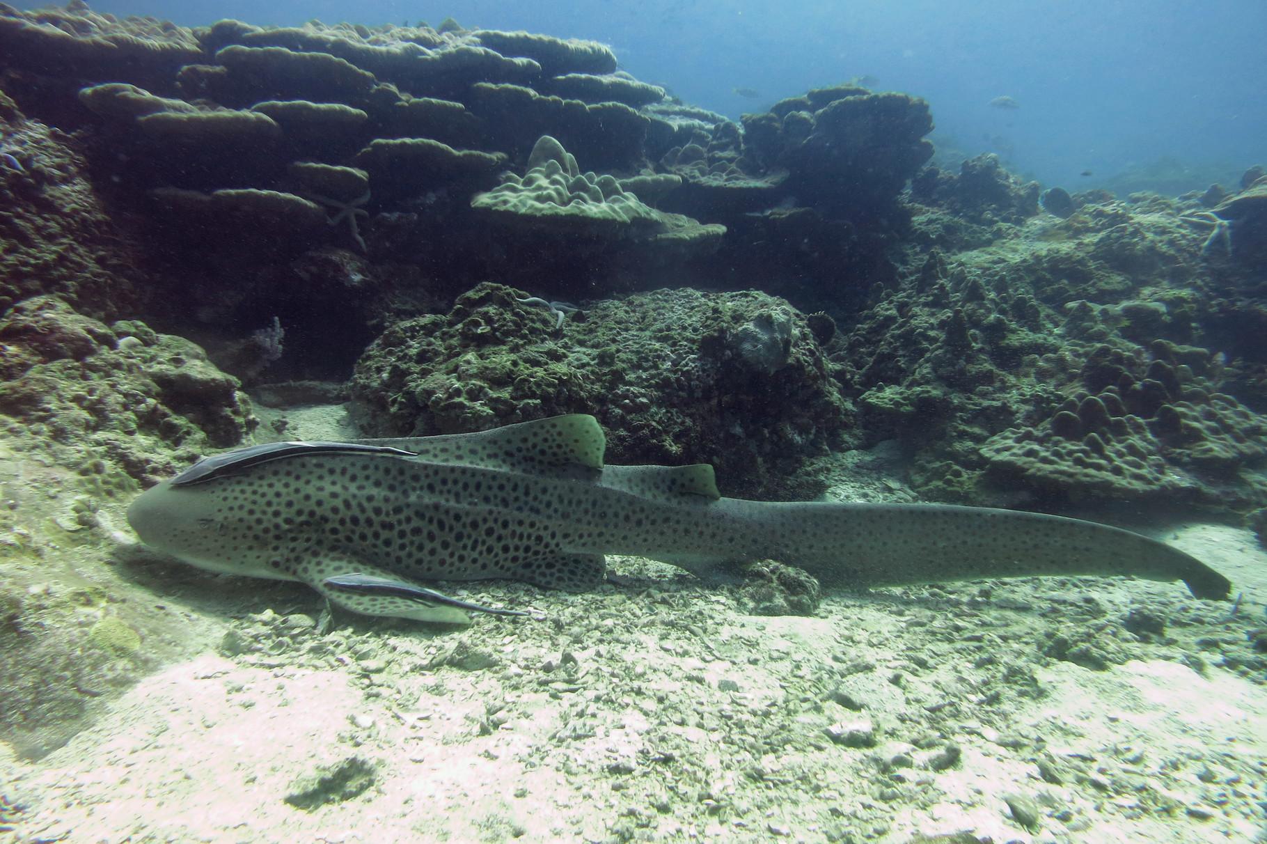 Requin léopard
