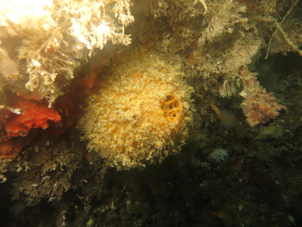 tethya aurantium, orange de mer éponge  - Saint-Cast Côte d'Armor