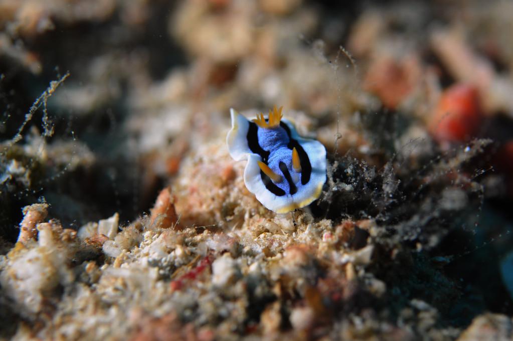 Mollusque Opisthobranche Doridien d'Anna Chromodoris annae, Negros orientales, Philippines