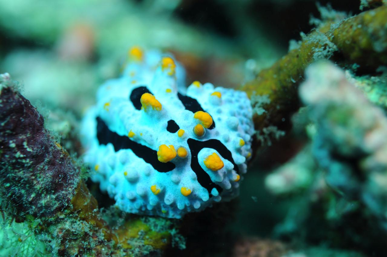 Mollusque opisthobranche Phyllidie céleste, Negros orientales, Philippines
