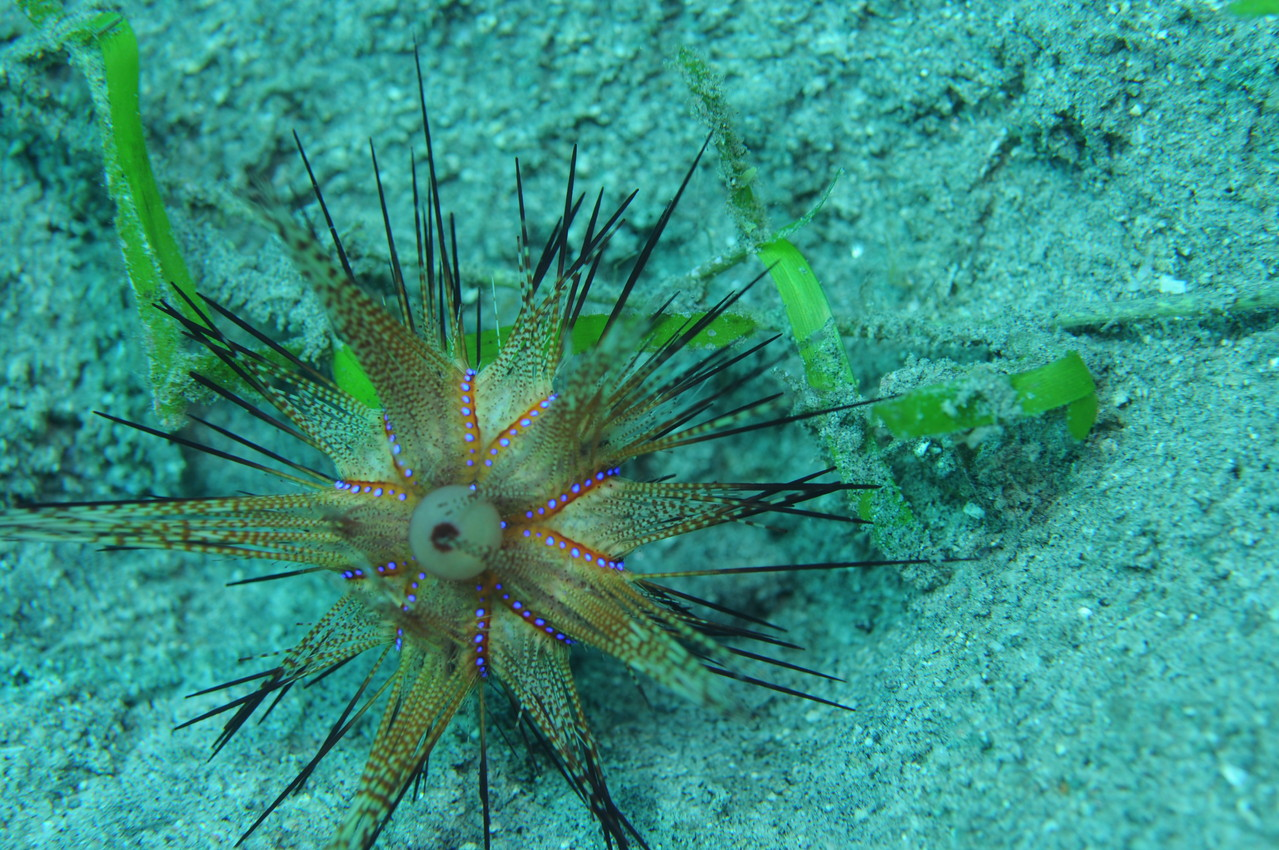 Echinoderme oursin, Negros orientales, Philippines