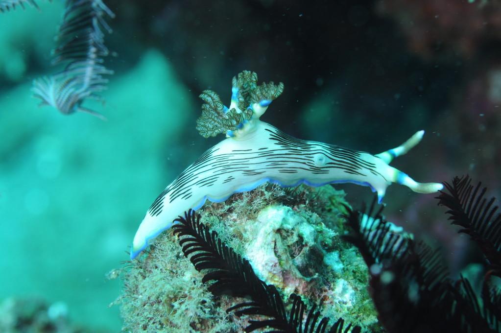 nudibranche Apo Philippines