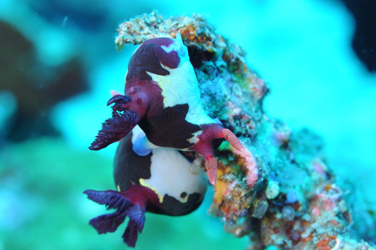 nudibranche Negros orientales Philippines