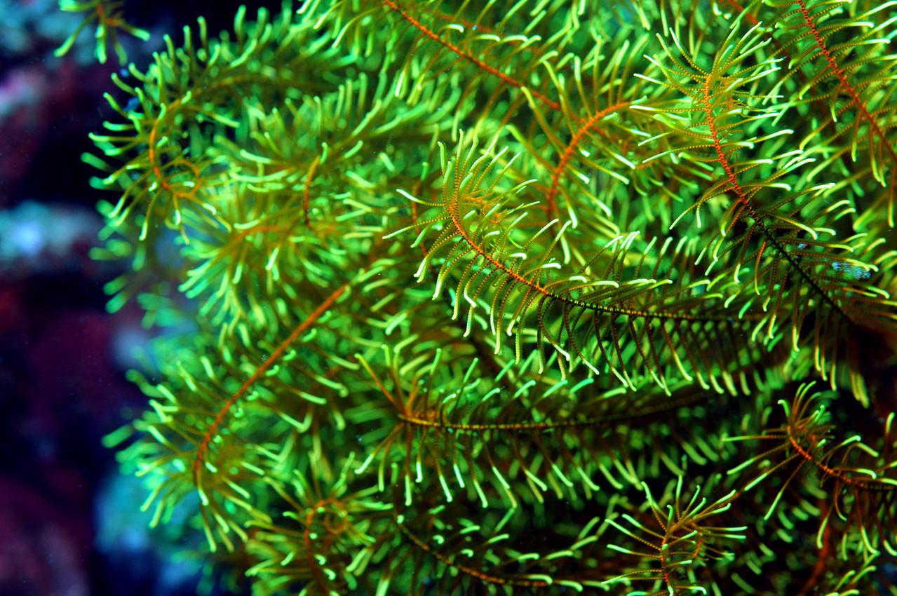 Echinoderme crinoïdes, Negros orientales, Philippines