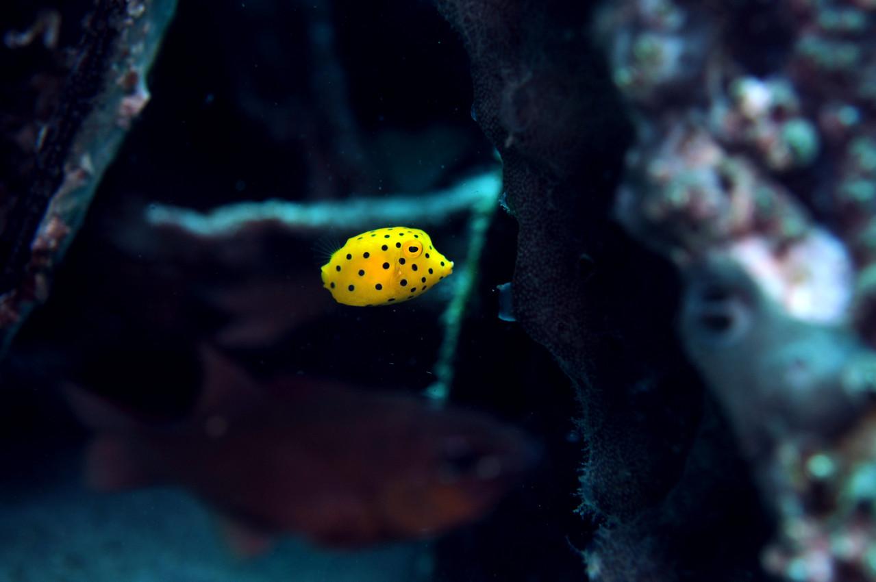 poisson coffre  jaune Ostracion cubicus, Negros orientales, Philippines