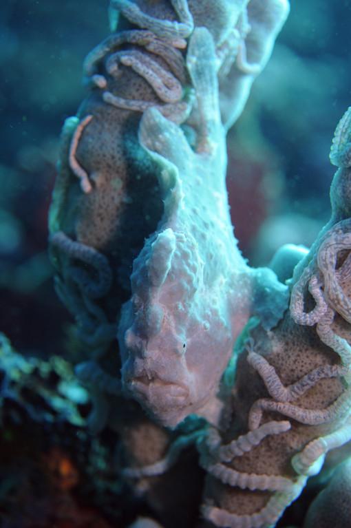 Scorpaeniforme et poisson comparables antennaire géant Antennarius commersoni, Negros orientales, Philippines