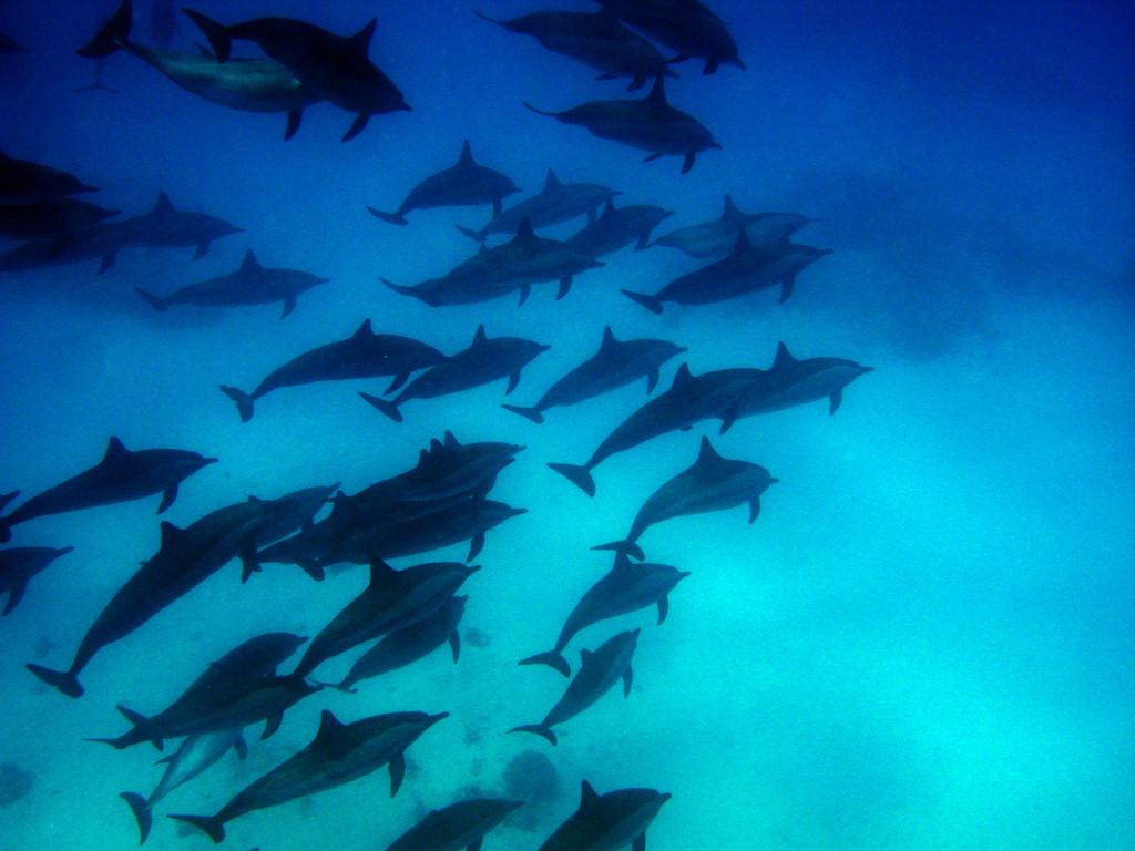 Souffleur de l'Océan Indien Tursiops aduncus
