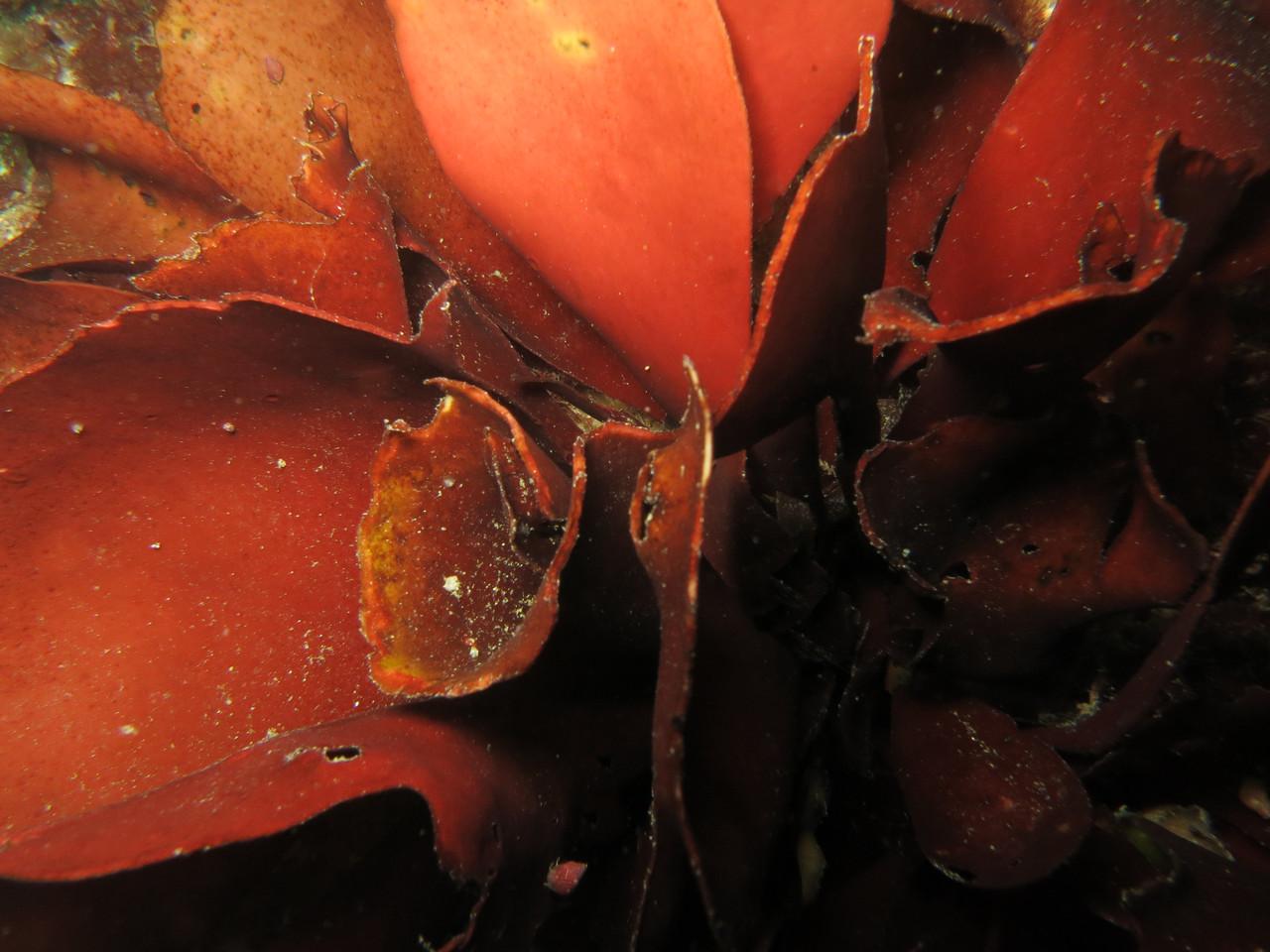 laminaria hyperborea, goémon rouge, laminiare rugueux - Saint-Cast Côte d'Armor