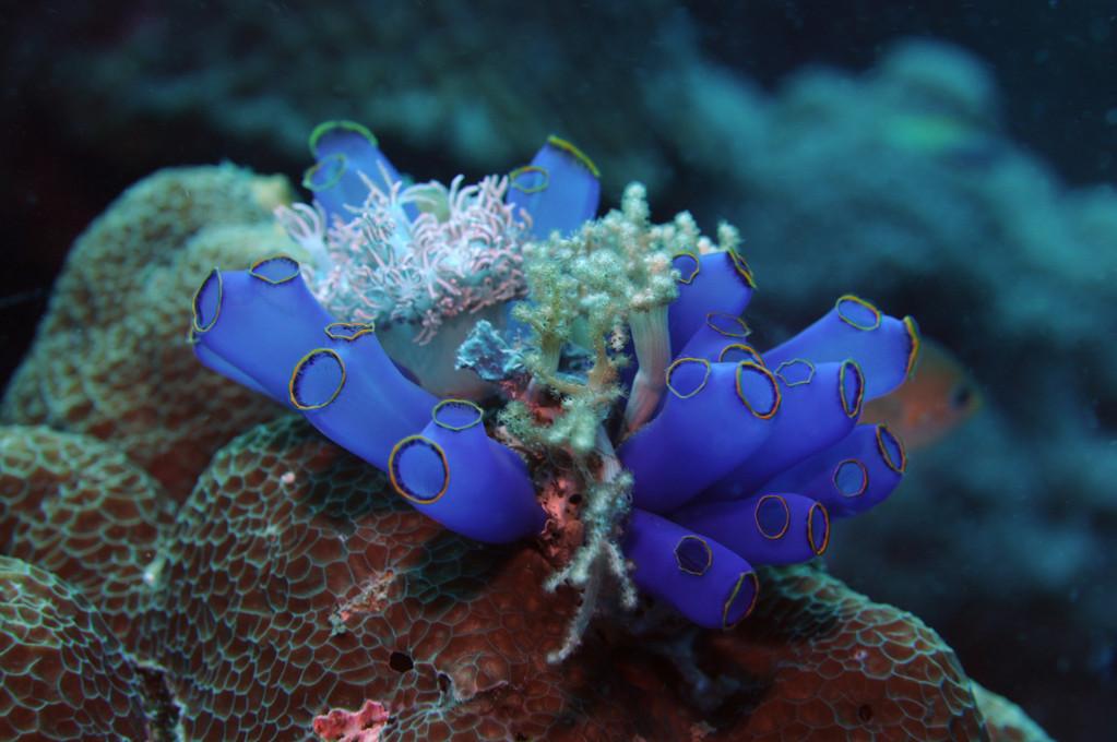Tunicier Ascidie sociale bleue, Negros orientales, Philippines