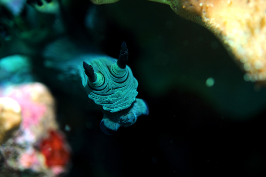 Mollusque opisthobranche Nembrotha verte Nembrotha milleri, Negros orientales, Philippines
