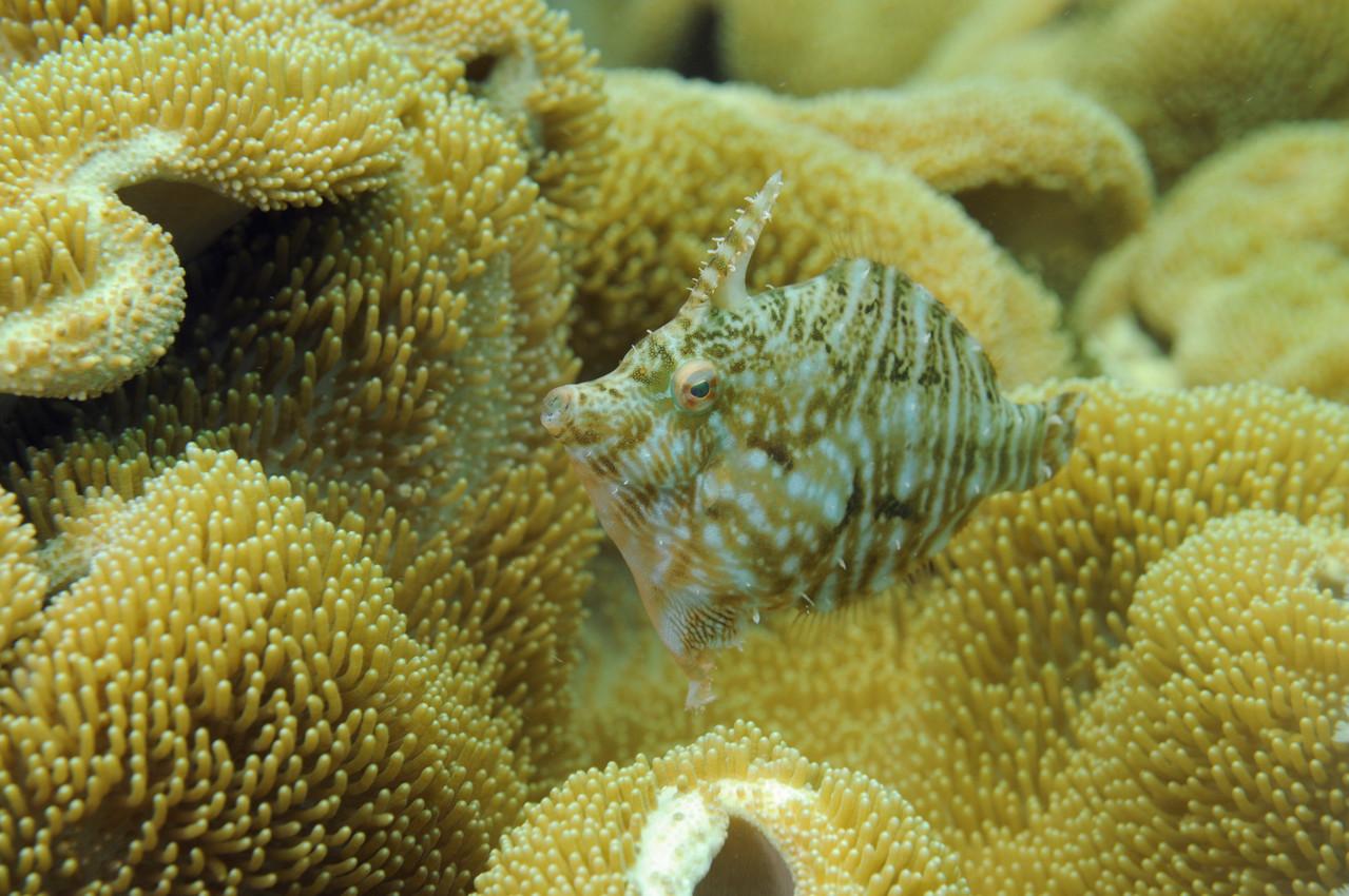 poisson lime acreichthys tomentosus, Negros orientales, Philippines