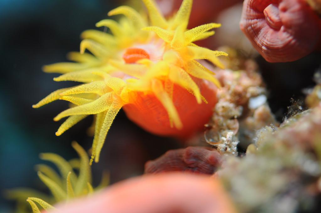 Coraux Anthozoaires Hexacorallaires corail solitaire jaune Leptopsammia pruvoti, Negros orientales, Philippines