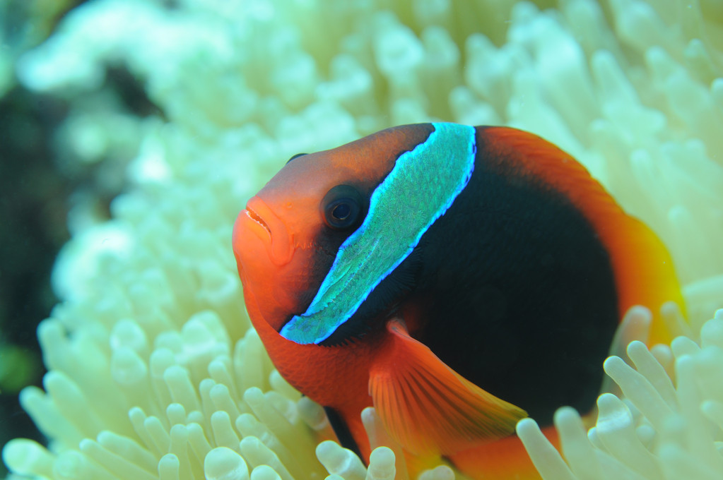 Poisson clown Amphiprionidés  Clown tomate Amphiprion frenatus, Negros orientales, Philippines