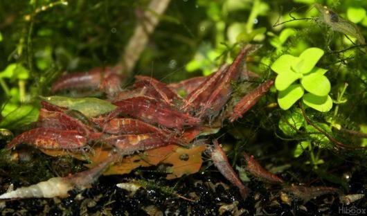 "Neocaridina heteropoda var. red ""Red cherry"""