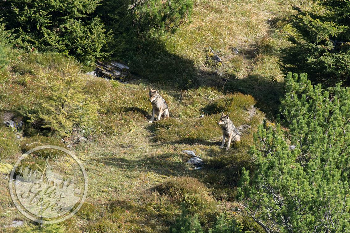 Wildlife Jungwölfe am Calanda | Okt. 2015