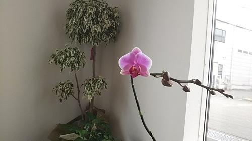 胡蝶蘭が二度咲きしました