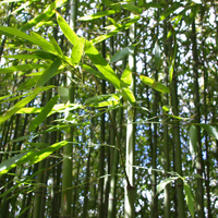 Bambus muss ganzjährig bewässert werden