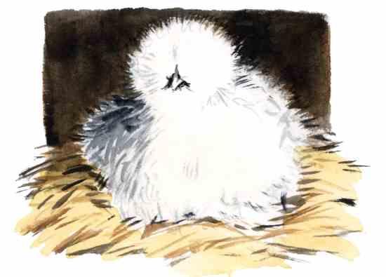 卵を抱きたがる雌鳥を使うのは、やり甲斐があり楽しい。特に ふわふわシルクの羽の母鳥なら。Illustration By Elayne Sears