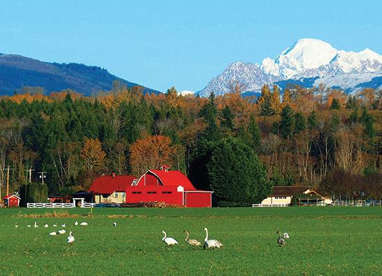 白鳥と鮮やかな赤の小屋とベーカー山との対比、ワシントン州スカジット郡。Photo by Karen Molenarr Terrell.