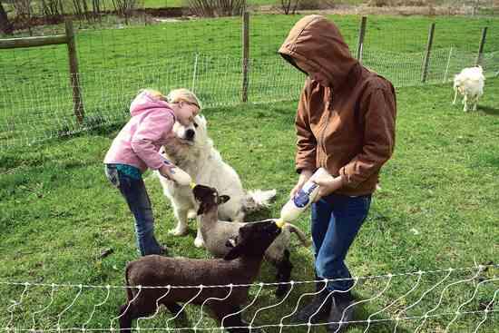 11才のアンドリューは、自身の羊ビジネスを運営している。この写真では、2頭の孤児に哺乳瓶でミルクを与えるのをローリンが手伝っている。 Photo by Shutteye Photography.