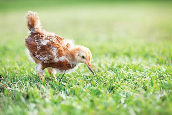 混成の飼料システムでは、ひよこはタンパク質が豊富な青虫を見つける。