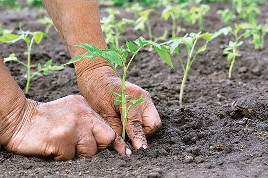 苗を土に植える時、元気付ける優しい言葉を投げかけよう。後ほど収穫時に感謝の気持ちを返してくれる。