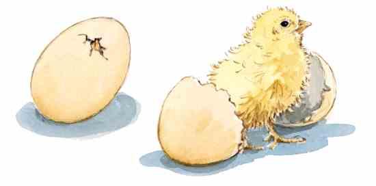 つついて殻を破り(左に見える)、ひよこが初めて卵に穴を開ける。ひよこは通常24時間以内に卵を破って出てくる。Illustration By Elayne Sears