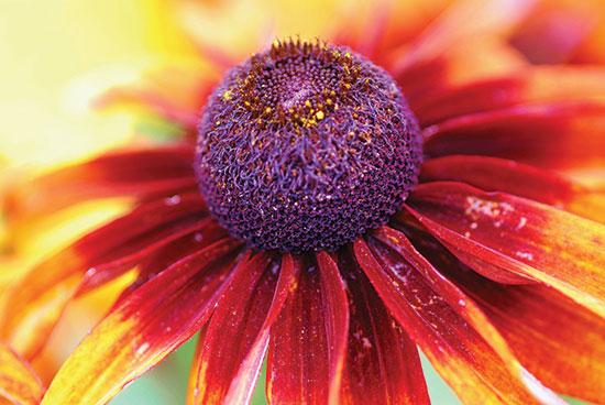 ムラサキバレンギク属 の開花、イリノイ州スコーキー。Photo by Renee Rendler Kaplan.