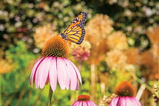 トロントの植物園でエキナセアの花の上で ポーズをとるオオカバマダラ。