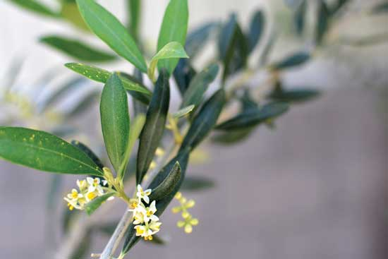 オリーブの樹 (Olea europaea) は地中海原産。Photo courtesy Queen Creek Olive Mill
