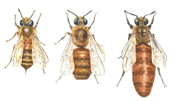 左から右へ:雌の働き蜂は巣の大部分を作る。雄の蜂の唯一の役割は女王蜂と交配することで、その後死ぬ。各蜂の巣に女王蜂1匹で、1日に最大2,000個の卵を産む。