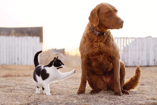 猫の「黒ひげ」がレトリバーの「マーシー」を前足で叩く。ノースダコタ州の自作農地にて。Photo by Jessica Harms.