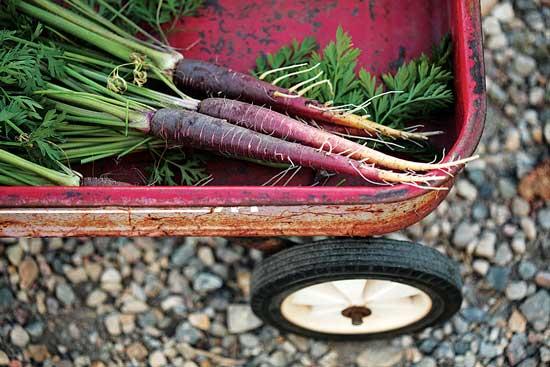 ノースダコタ州立大学のHome Garden Variety Trials で育った紫の人参が入ったワゴン。