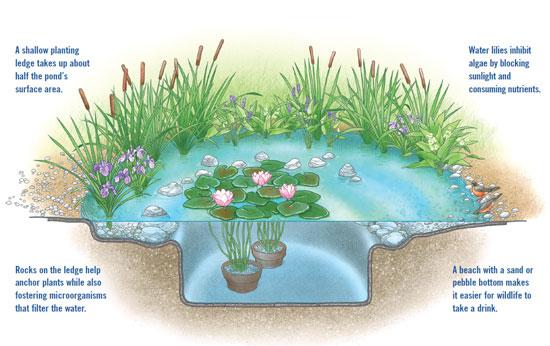 浅い植え込み棚が池の表面の半分を占める。/棚上の岩が植物を支えるのに役立ちつつ、水を濾す微生物も養う。/睡蓮が藻を抑えるように、日光を遮り、栄養を吸収する。/底が砂や小石の浜で、野生生物が水を飲みやすくする。