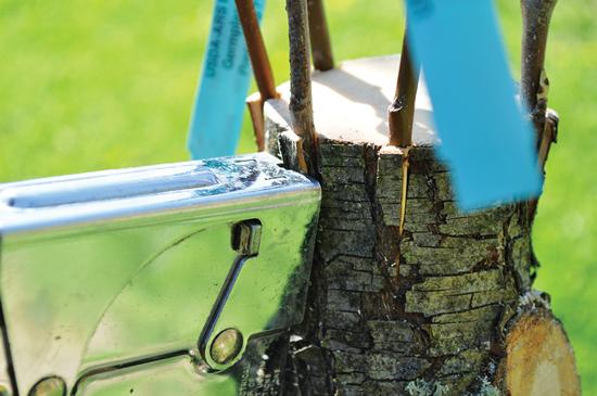 接ぎ木部をテープやステープ ルで固定する。