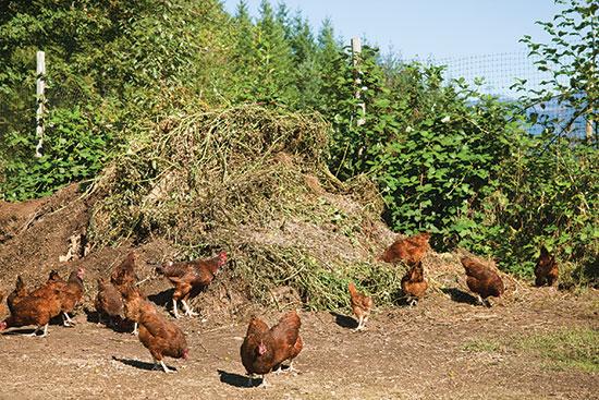 家禽の群れに、堆肥の山かき混ぜさせる。特に、植物や栄養豊かな昆虫が詰まっている時に。