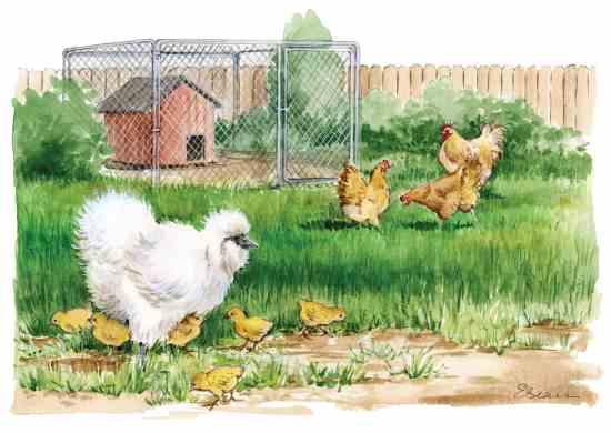 烏骨鶏の雌鶏は、良く卵を抱きたがるニワトリの1種だ。あなたのニワトリの中の他の種の卵を置いてみる。例えば絵の後ろの方にいるBuff Orpington種のニワトリの卵を烏骨鶏の雌鶏に孵化させて育てさせる為にその下に置いてみる。Illustration By Elayne Sears